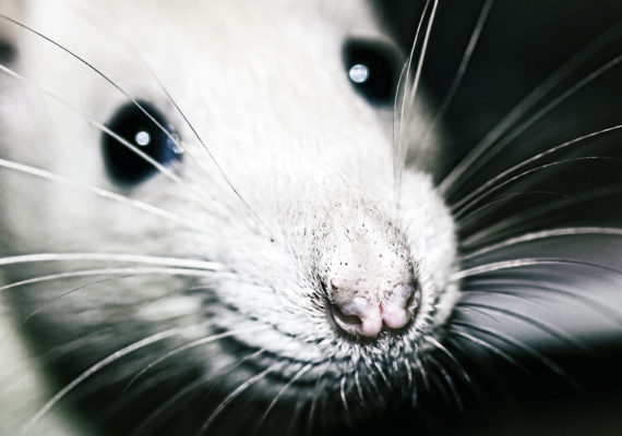 closeup of a white rat