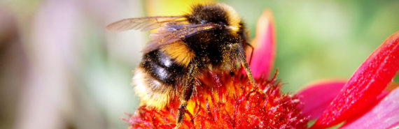 bumble bee covered in pollen