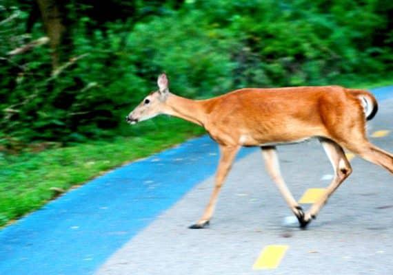 doe on road