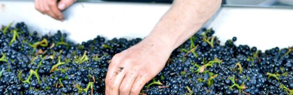 hands in wine grapes