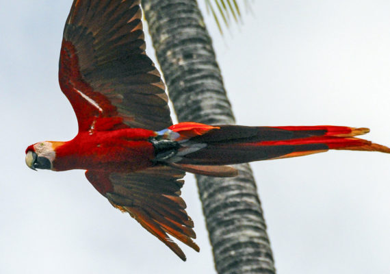 macaw flying