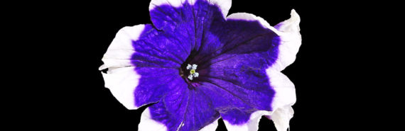 purple & white petunia on black