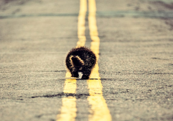 porcupine on the road