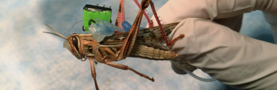 locust with sensor attached