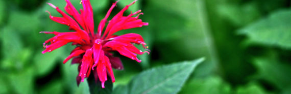 red bee balm plant