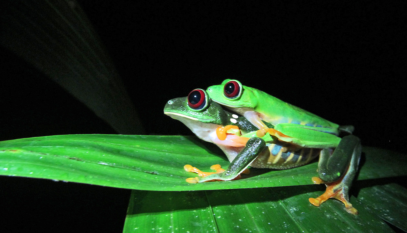 some frogs mate on land to avoid a u0027breeding frenzy u0027 futurity