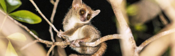 mouse lemur on branch