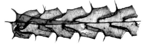 microscope image of Paraorthograptus kimi