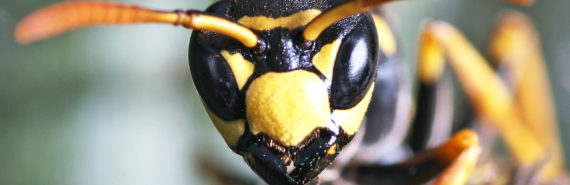 paper wasp face