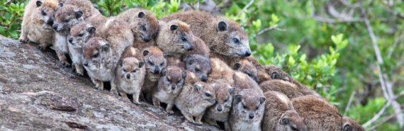 Rock hyraxes. (Credit: iStockphoto)