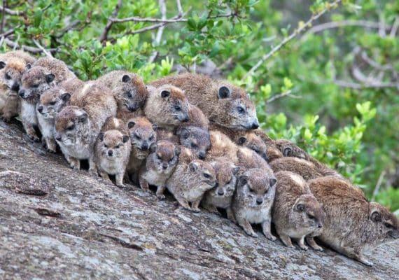 Rock hyraxes. (Credit: iStockphoto)