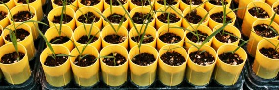 switchgrass in yellow pots