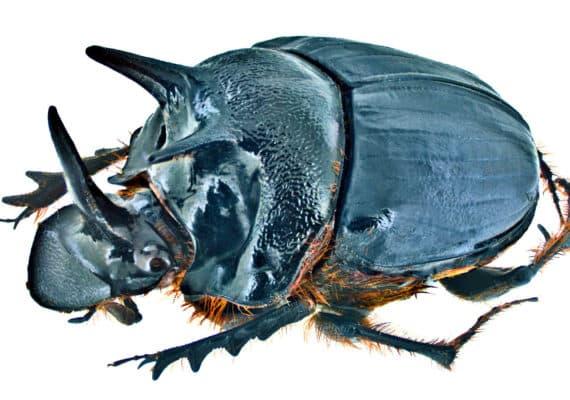 Onthophagus ferox. (Credit: Udo Schmidt via Wikimedia Commons)