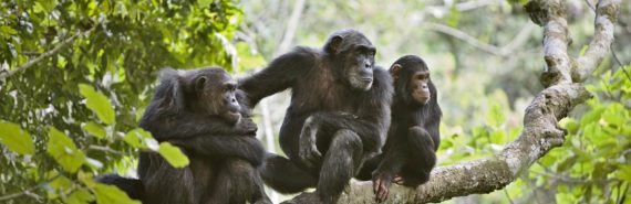 three chimps on a tree limb