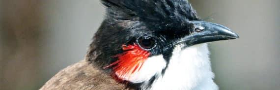 red-whiskered bulbul