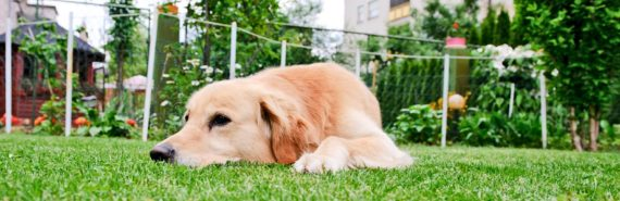 golden retriever in yard