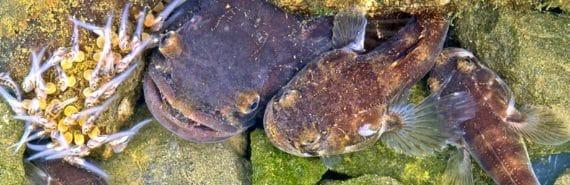 porichthys notatus