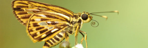 Pyroneura latoia butterfly