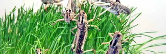 grasshoppers - desert locust