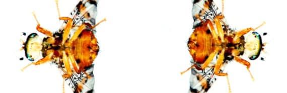 fruit flies on white