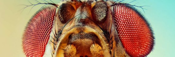 fruit fly macro