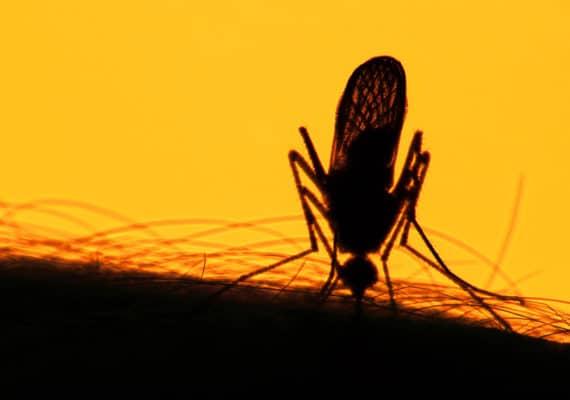 orange and black mosquito