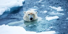 polar bear and sea ice