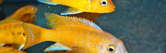 yellow cichlids of Lake Malawi