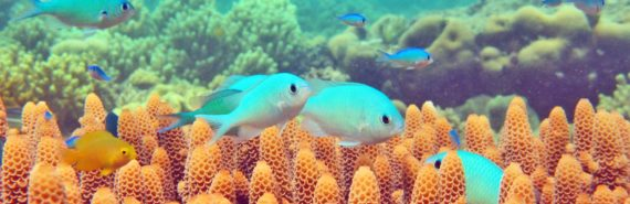 blue-green damselfish