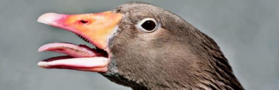 goose honking