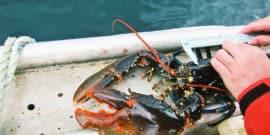 measuring a lobster
