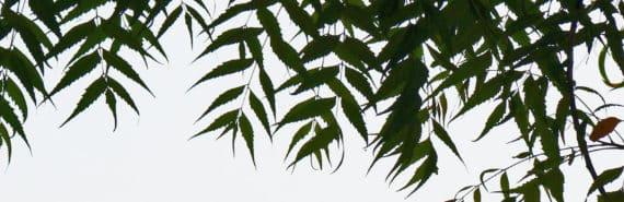 neem tree leaves