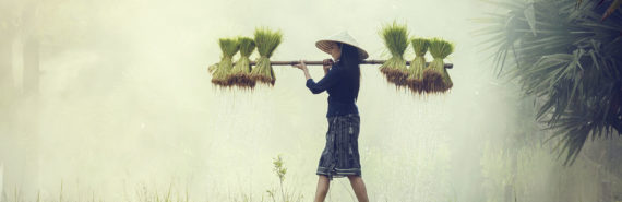 woman carries rice plants