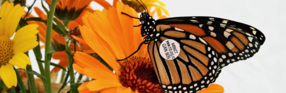 tagged butterfly - citizen science