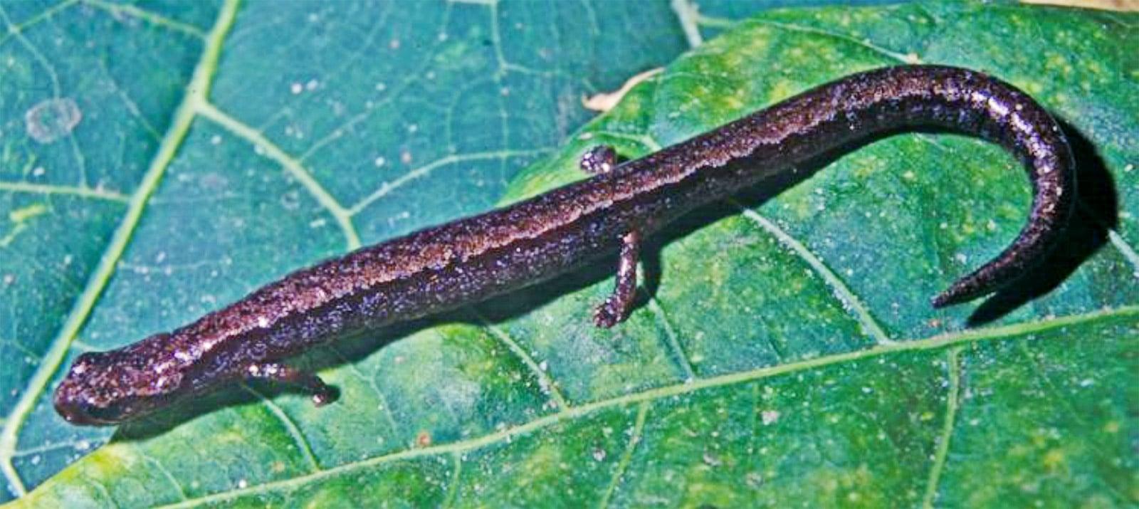 Thorius pinicola