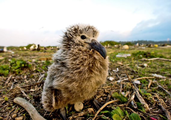albatross chick and plastic trash