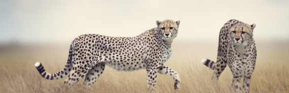 cheetahs in tall grass