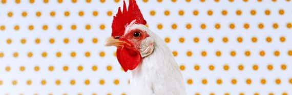 hen portrait with dots