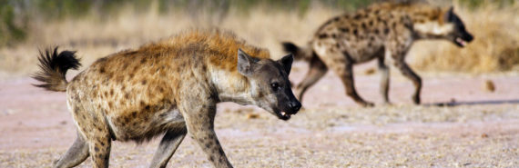 spotted hyenas hunt