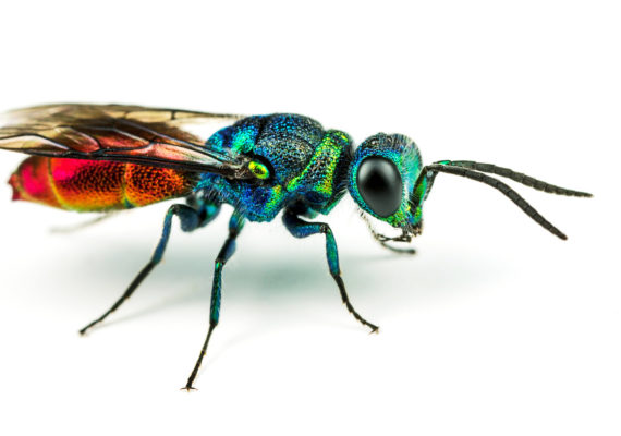 jewel wasp on white