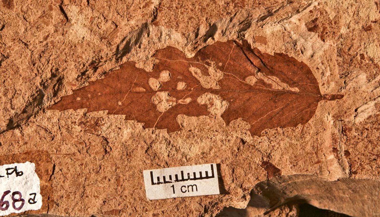 leaf fossil
