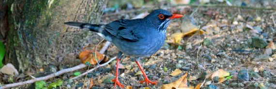 red-legged thrush bird