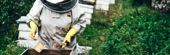 beekeeper tends honey bees