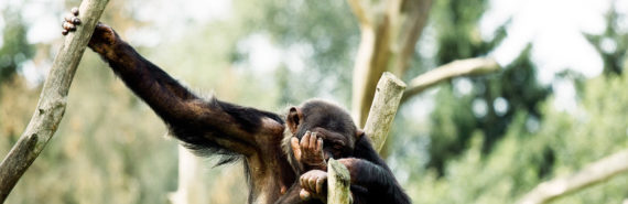 chimpanzee in a tree
