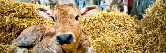 newborn calf in straw