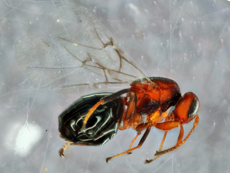 Bassettia pallida gall wasp