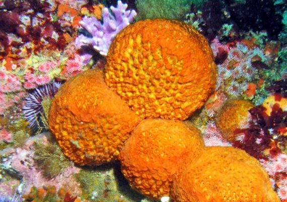 orange puffball sea sponge