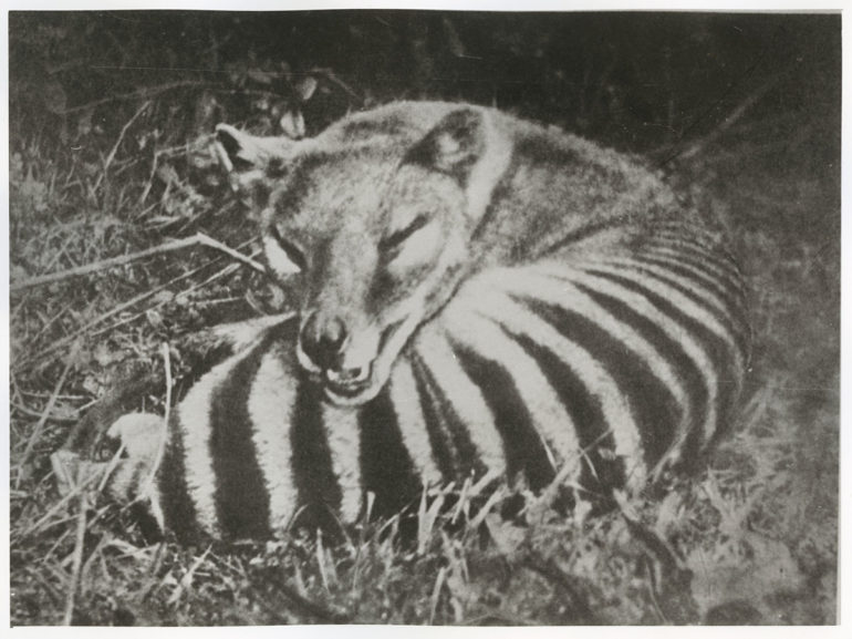 thylacine photo