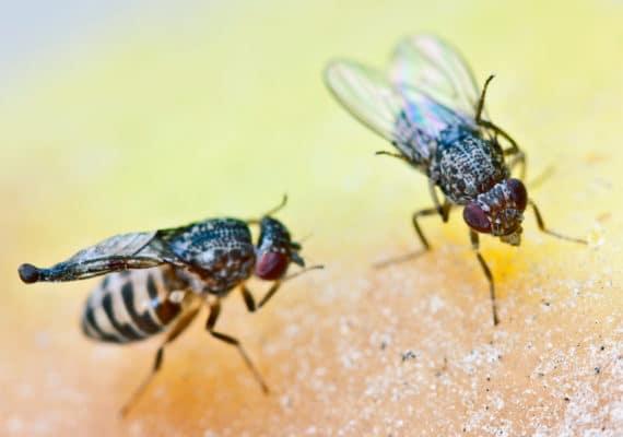 two fruit flies on yellow