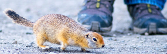 arctic ground squirrel at feet